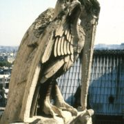Pélican mâle